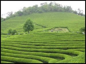 чем полезен  зеленый чай, полезные свойства зеленого чая